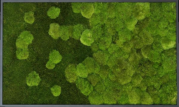 Moosbild Verlauf: Wald- und Kugelmoosbild Verlauf 100x60cm